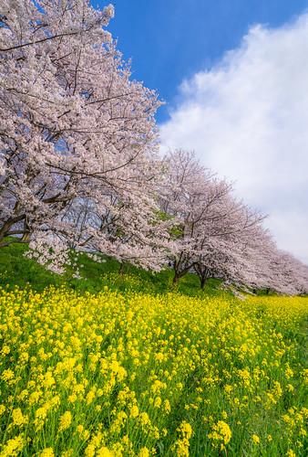 flower japan zeiss sony 桜 cherryblossom 日本 sakura saitama 花 埼玉 fieldmustard nex 菜の花 α ソニー 吉見町 fe1635mmf4zaoss variotessartfe1635mmf4zaoss sel1635za a7rii a7r2 ilce7rm2 α7rii yosimicho
