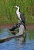 Juvenile pied shag (cormorant) Phalacrocorax varius by Maureen Pierre