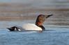Canvasback Duck - Terminator!! by rickdunlap2