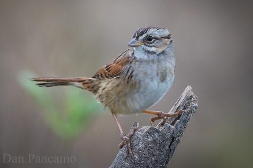 bird nature birds texas 2011 swampsparrow canon14xiii canon500mmf4isii
