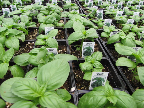 starr-100623-7801-Ocimum_basilicum-potted_plants_in_greenhouse-Pukalani_Plant_Company_Pulehu-Maui | by Starr Environmental