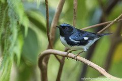 Setophaga caerulescens-Black-throated Blue Warbler-Reinita Azul-male by rafyrodriguezphotography