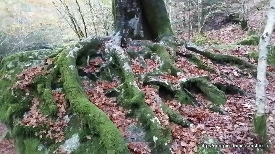 energie-denis-sanchez-huelgoat-arbre-gardien-racine