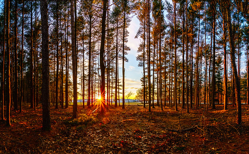leaves sunset nature orangecolor pinetree longisland newyorkstate sunburst starburst redleaves tree sony sonya7riiwithefmountlens sonya7r2 tamronsp1530 tamron withmytamron