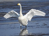 Whooper swan spreading his wings by m2onen