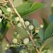 Gaylussacia frondosa - Photo (c) Mary Keim, algunos derechos reservados (CC BY-NC-SA)