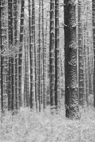 winter blackandwhite white snow monochrome forest woods nj minus whitepine 2016 bassriverstateforest burlingtoncounty bassrivertownship forestedhabitat