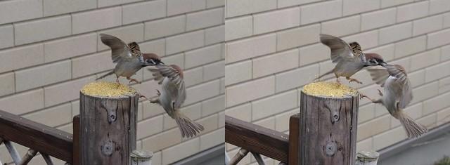 Eurasian tree sparrows, stereo cross view