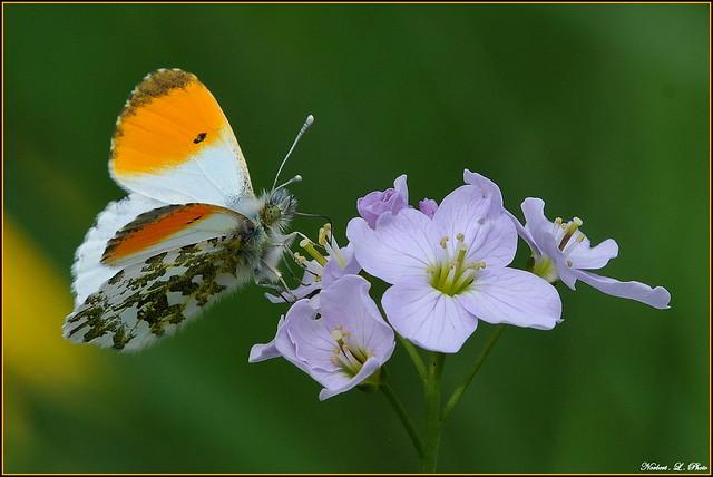 Papillon Aurore ( mâle ) ( Anthocharis cardamines )
