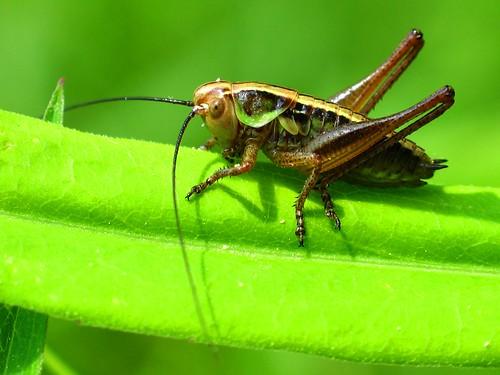Grasshopper (order Orthoptera)