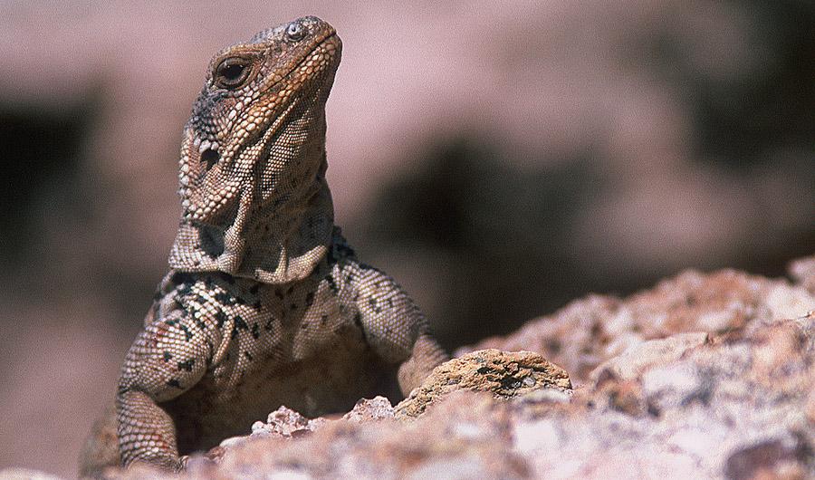 Baja Lizard