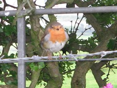 Robin, Penglais, Aberystwyth