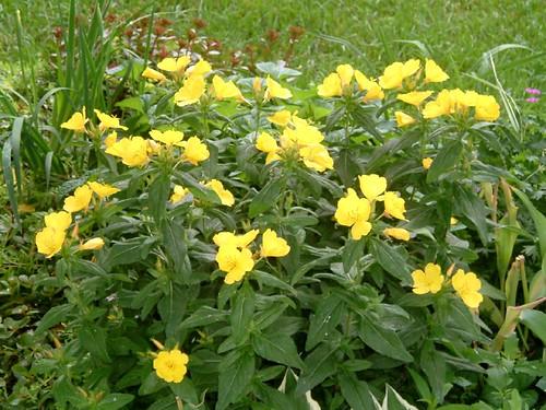 yellow flowers 05
