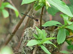 Hummer Nesting