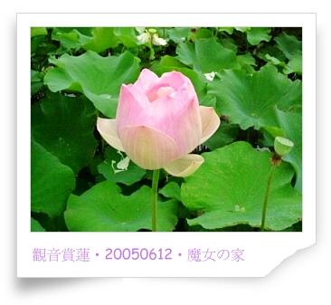 20050612觀音賞蓮蓮02