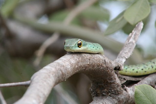 Boomslang | by wapstar