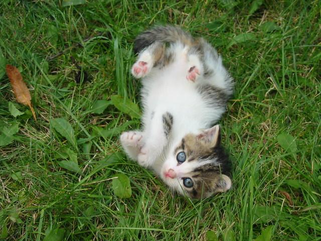 Stray_kitten_Rambo001a