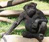 chimpug