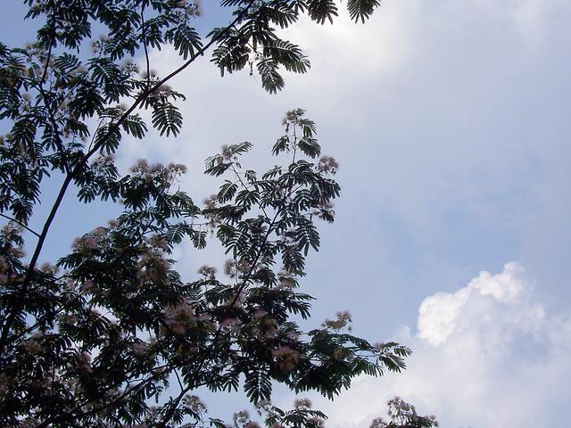 mimosa sky