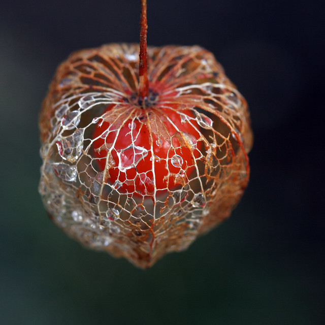 Physalis and drops