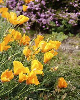 Poppies - IMG_0385.jpg