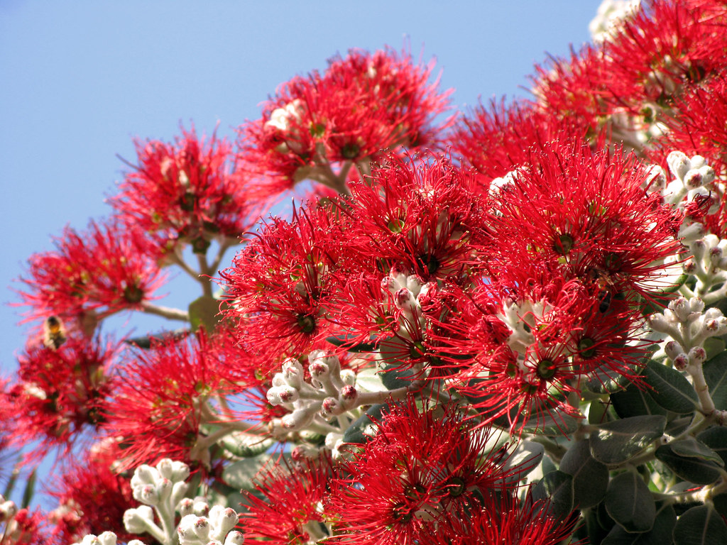 Red Flowers Of New Zealand Christmas Tree Snapped In Sydne Flickr