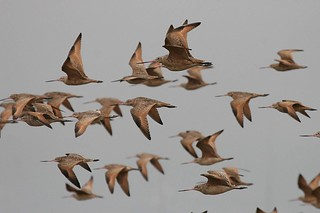 Godwit flock in flight | by BobLewis