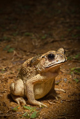 Asian toad, Madagascar Dec  2014 photo James Reardon-7305 (1)