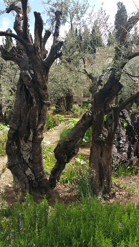 Garden of Gethsemane Olive Trees | by tkksummers