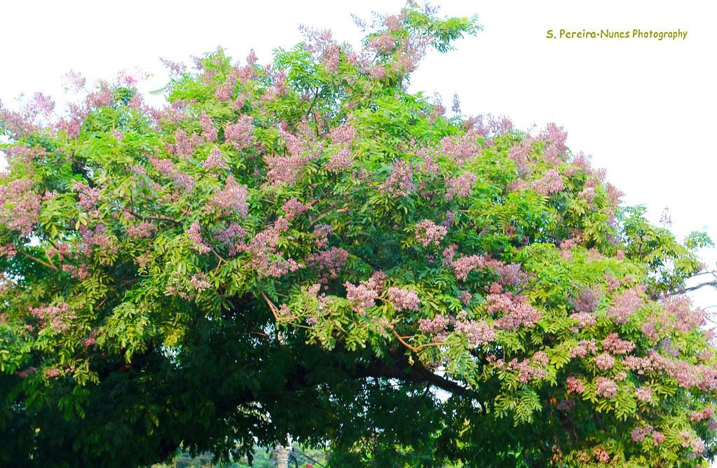 Cabbage Tree Andira Inermis El Salvador Snnc Andira An Flickr