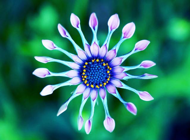 An African daisy...