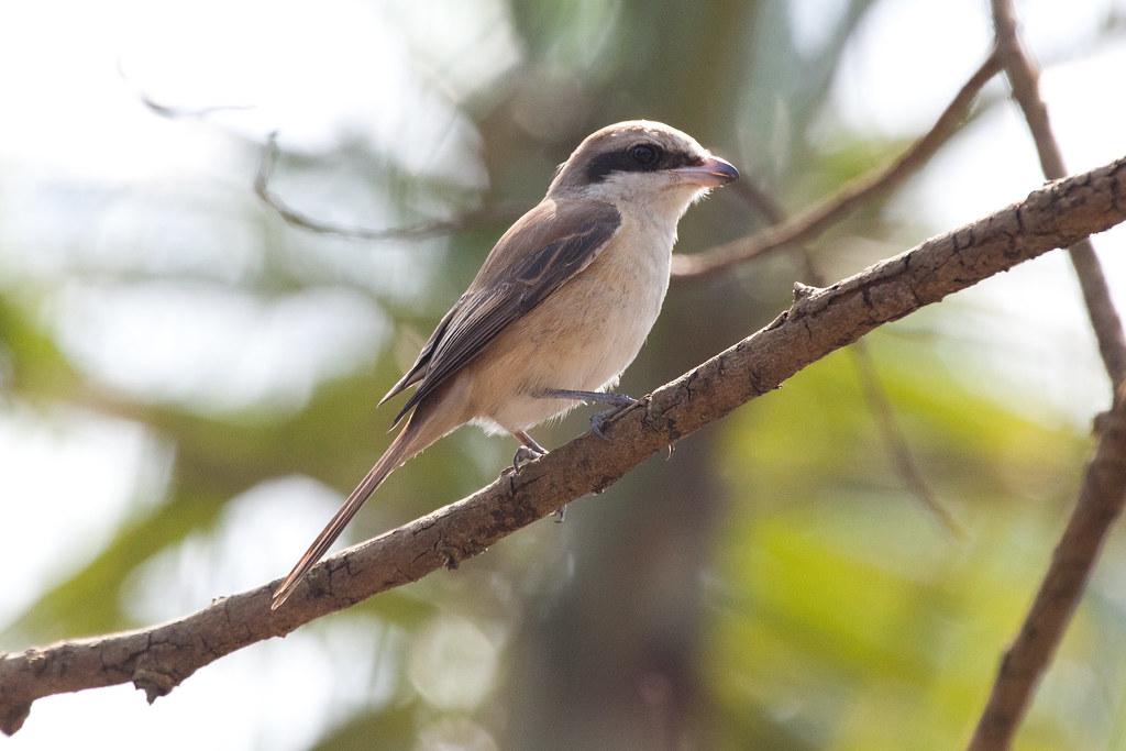 Bird, Ha Tinh province, 08 February 2016 (2)