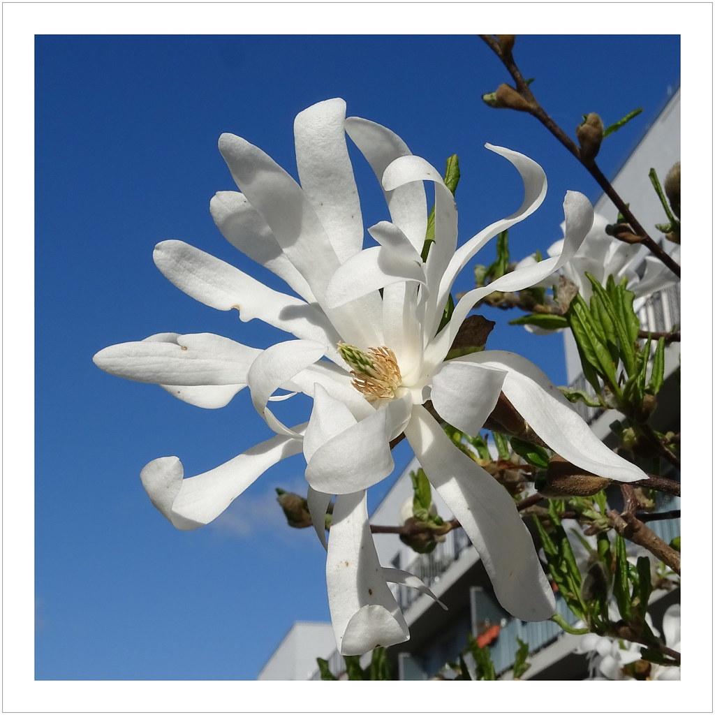 Sternmagnolie Pflanze Magnolia stellata