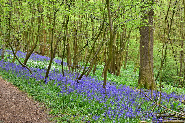 Bluebell and Garlic