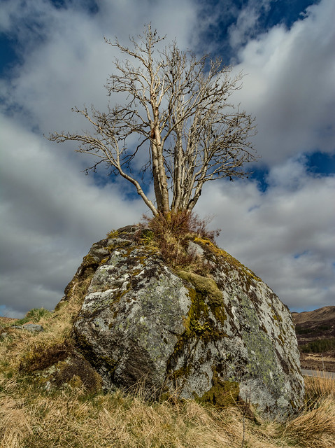 Tree Grows Out Of A massive Rock ...