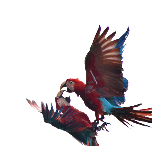 Macaws in Amazon rain forest
