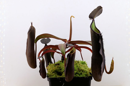 Nepenthes ramispina 'Genting' | by andy.denker