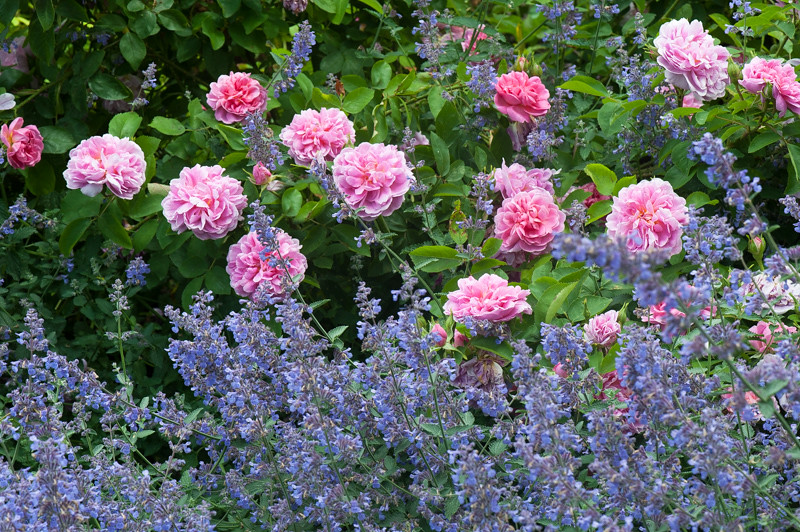 Rosa The Countryman and Nepeta 'Six Hills Giant'