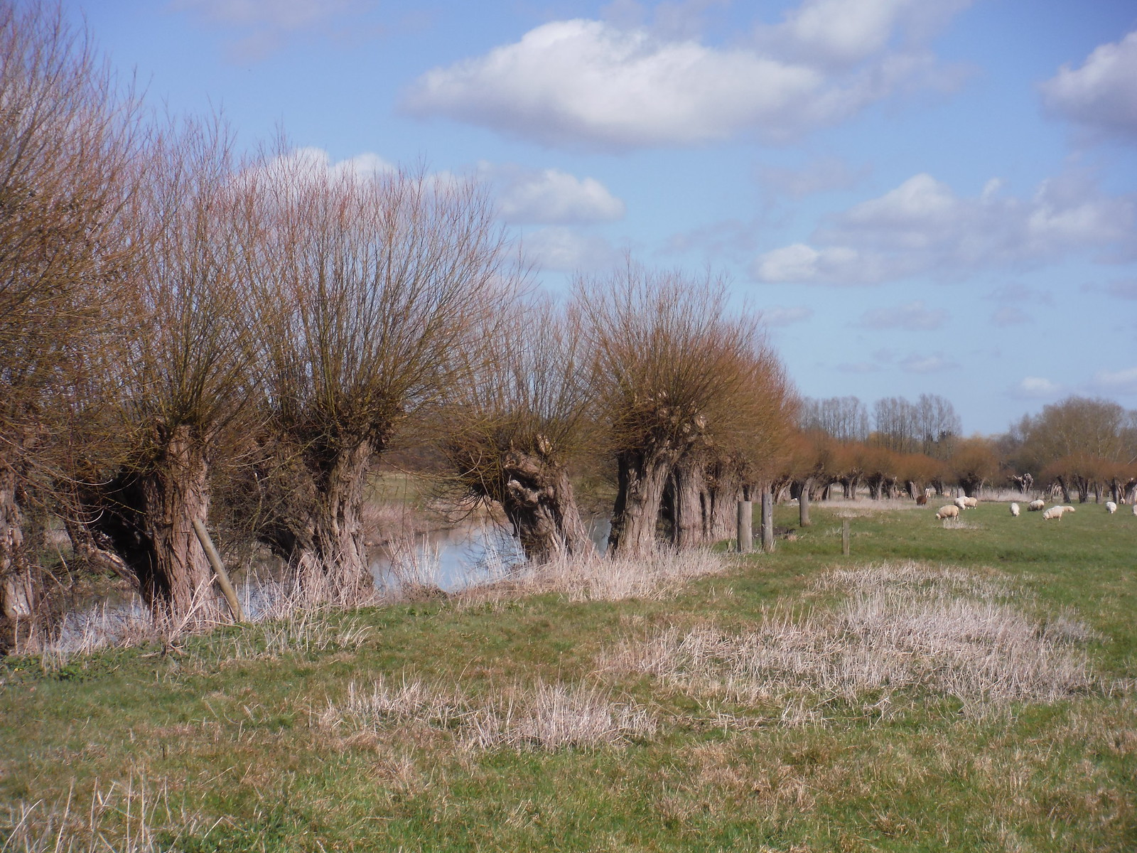 Pollards along the Thame River, Chearsley SWC Walk 193 Haddenham to Aylesbury (via Gibraltar and Ford)