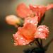 Wet geranium -explored- by Sergio '75