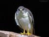Aguilucho , Variable Hawk (Geranoaetus polyosoma) by Pabloskino
