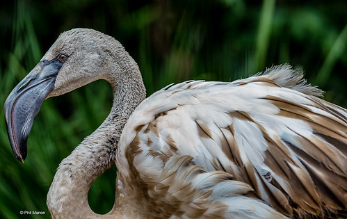 The greater flamingo (Phoenicopterus roseus) | by Phil Marion (176 million views - THANKS)