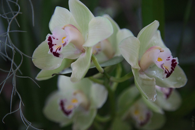 RUS53765(Phalaenopsis)
