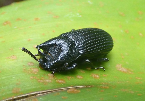 Bettle sp. III a)   by http://www.bigalriverbiologicalreserve.org