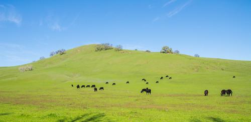 california county usa mountains west green nature grass cherry coast view natural unitedstatesofamerica vacaville blossoms bayarea solano rollinghills fairfield vaca