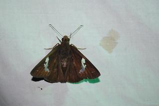 Bungalotis  sp. (female)   by http://www.bigalriverbiologicalreserve.org
