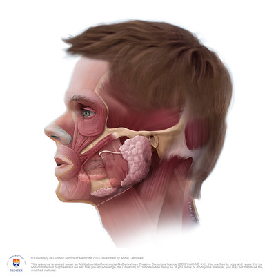 Head Anatomy Salivary and Parotid gland NO Labels by Annie Campbell