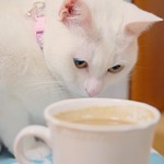 「あーそれ、 熱くて苦いのにゃ?  あたしキライにゃ」   #nekomikan #みかん #白猫 #しろねこ #whitecat #catstagram
