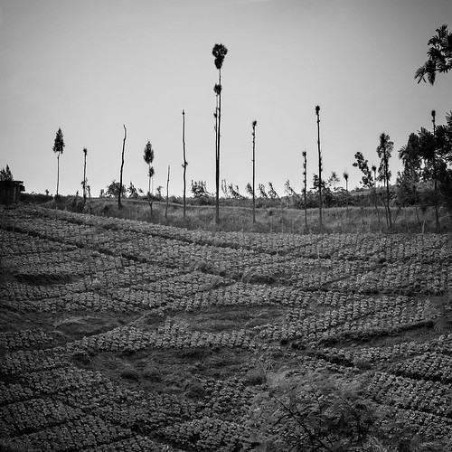 world travel trees blackandwhite monochrome canon indonesia square landscape java asia outdoor hill culture chou arbres 7d cabbage asie agriculture paysage indonesie choux colline cabbages diengplateau dieng canoneos7d canon7d