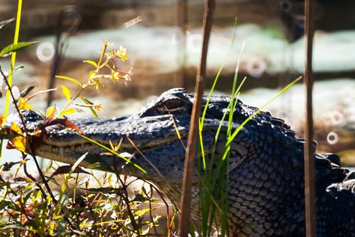 trees usa lake reflection sunrise pond louisiana atchafalayabasin alligator bayou cedar swamp spanishmoss wetlands cypress riverdelta lakemartin baldcypress